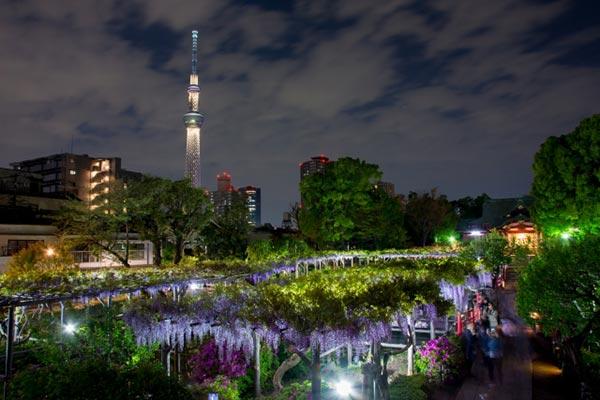 亀戸天神社の藤のライトアップとスカイツリー