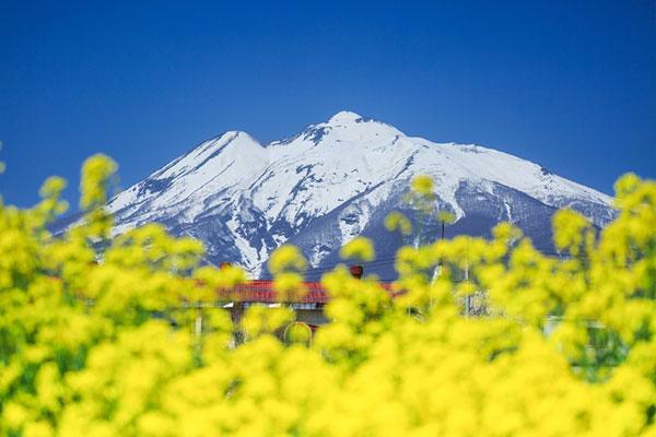 岩木山と菜の花畑