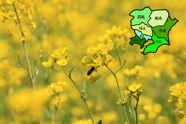 【関東地方】菜の花の名所