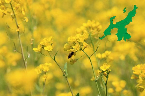 甲信越北陸の「菜の花畑