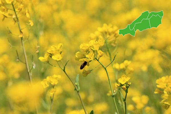 中国地方の「菜の花畑