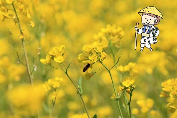 【四国】菜の花の名所