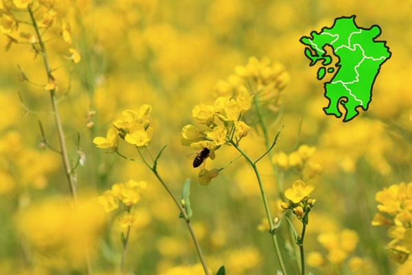 九州・沖縄の菜の花