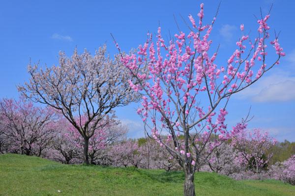 平岡公園の梅林(札幌)