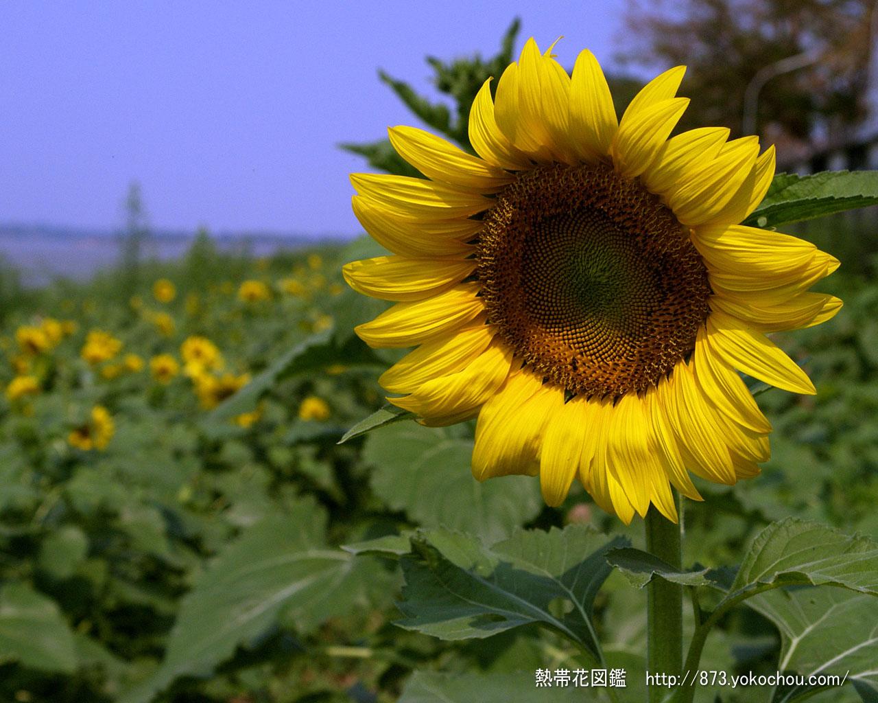 ヒマワリ ひまわり 向日葵 591 壁紙写真 1280x1024